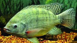How to Feed Tilapia