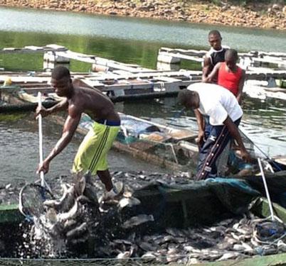 ghana-fish-farm