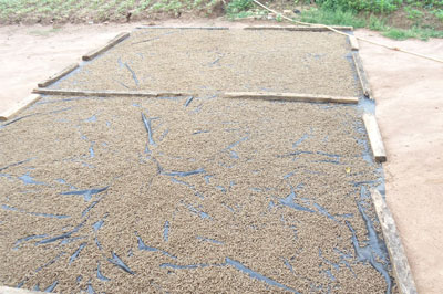 sun_drying_for_feed_pellets
